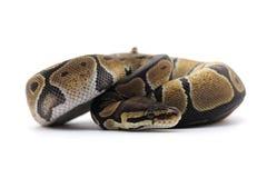 Змейка изолированная на белизне Стоковая Фотография
