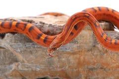 Змейка изолированная на белизне Стоковое фото RF