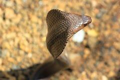 Змейка кобры в Индии Стоковые Изображения