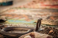 Змейка кобры Стоковое фото RF