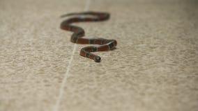 Змейка коралла лежа все еще на поле, зоопарке Коста-Рика видеоматериал