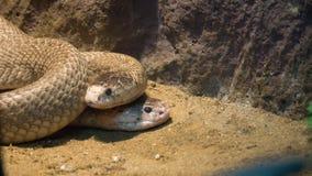 Змейка короля кобры пар на песке стоковое фото rf