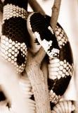 змейка короля california Стоковые Изображения RF