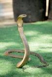 Змейка короля кобры змейка мира самая длинная ядовитая Стоковые Изображения
