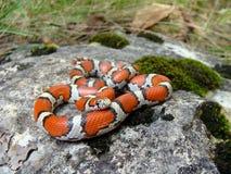 змейка красного цвета молока Стоковые Изображения RF