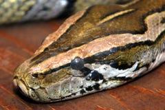 змейка крупного плана Стоковые Фотографии RF