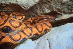 змейка крупного плана Стоковое фото RF