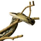 змейка крысы Стоковые Фотографии RF