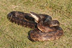 Змейка крысы Стоковые Фото