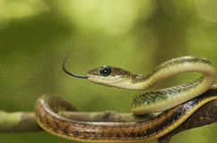 Змейка крысы Стоковое фото RF