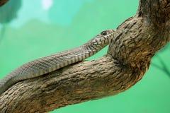 Змейка крысы & x28; mucosus pythus & x29; портрет выстрела в голову крупного плана змейки Стоковые Изображения