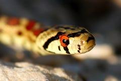змейка леопарда стоковые изображения