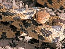 змейка лисицы стоковые фото