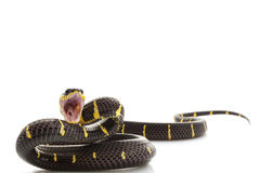 змейка мангровы Стоковые Изображения