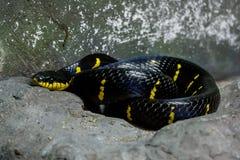 Змейка мангровы: Dendrophila Boiga Стоковое Изображение RF