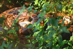 Змейка матери защищает ее яичка стоковое фото rf