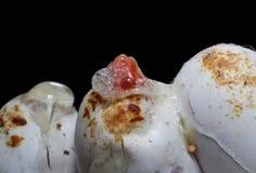 Змейка младенца снега коралла насиживая от где яичка Стоковые Изображения