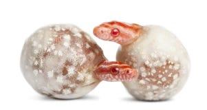 Змейка мозоли насиживая, guttatus Pantherophis Стоковые Изображения RF