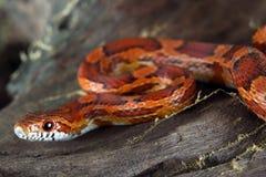 змейка мозоли Стоковая Фотография RF