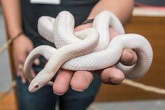 Змейка мозоли Opale или белая змейка свертываясь спиралью вокруг руки Стоковые Фотографии RF