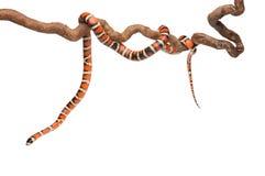 Змейка молока с ровными и сияющими масштабами Стоковая Фотография