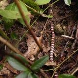 Змейка молока Стоковая Фотография