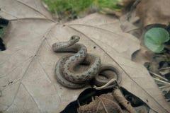 Змейка младенца Стоковая Фотография