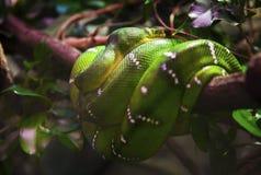 Змейка на ветви Стоковые Изображения