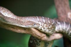Змейка питона ковра Стоковое Изображение
