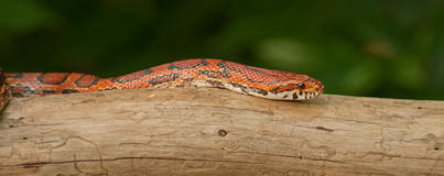 змейка померанца мозоли Стоковое Фото