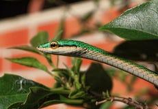 Змейка попугая, съемка головы ahaetulla Leptophis Стоковое Изображение