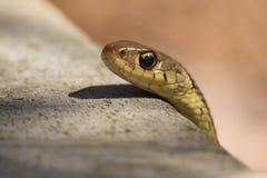 Змейка подвязки (sirtalis Thamnophis) Стоковое Изображение