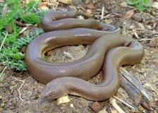 змейка резины charina bottae горжетки Стоковое Фото
