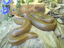 змейка резины charina bottae горжетки Стоковое фото RF