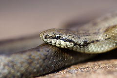 змейка серого цвета травы Стоковое Изображение