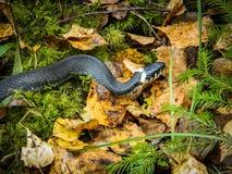 Змейка слишком в желтых листьях осени Стоковое Фото