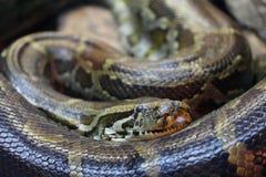 Змейка спать Стоковые Фото