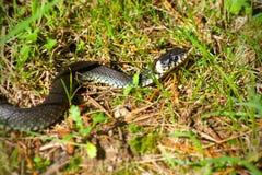 змейка травы 01 Стоковая Фотография