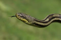змейка травы Стоковое Фото