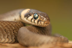 Змейка травы Стоковые Изображения