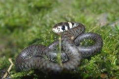 Змейка травы Стоковые Фотографии RF