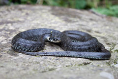 Змейка травы Стоковые Фото