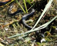 Змейка травы Стоковая Фотография