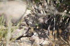 Змейка трещотки готовая для того чтобы поразить Стоковая Фотография