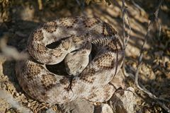 Змейка трещотки свернутая спиралью на летний день Стоковые Фото