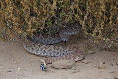 Змейка трещотки свернутая спиралью под Бушем Стоковые Фото