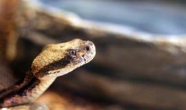 Змейка трещотки с космосом экземпляра Стоковое фото RF