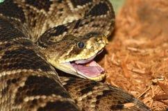 змейка трещотки Стоковая Фотография