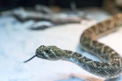 Змейка трещотки Стоковые Фото