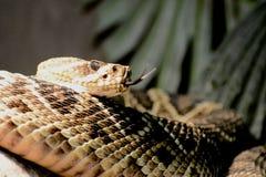 Змейка трещотки Стоковое Изображение RF